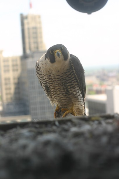 Peregrine Falcon New York City By Robert Cording